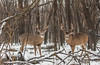 A pair of bucks