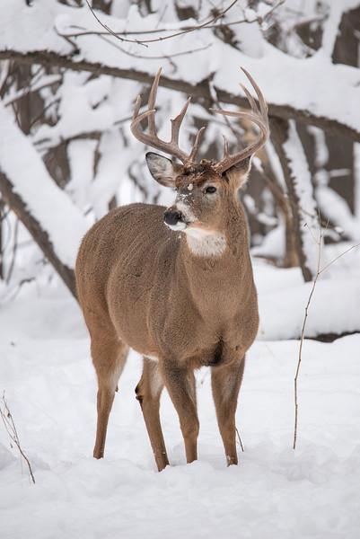 MWT-122069: Wintering Buck