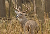 Trophy buck in heavy cover