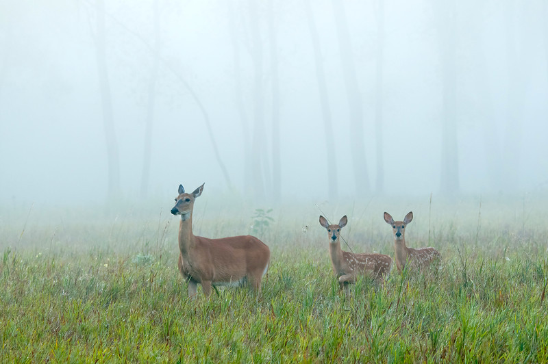 MWT-12198: Whitetial family in the fog