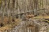 Swamp buck 2