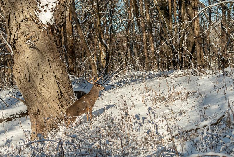 Buck checking over his environment