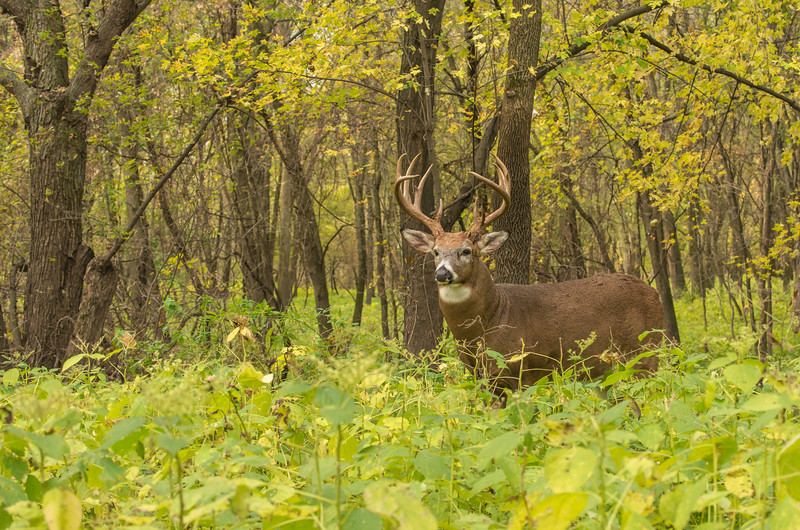 Whitetail in his environment