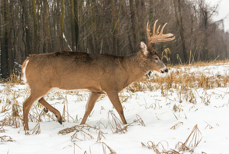 Buck on the move