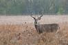 MWT-11257: Buck in prairie