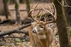 Buck lip curl