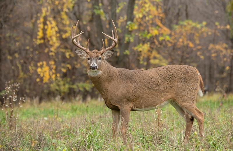 Late October Buck