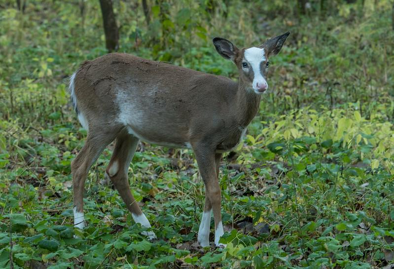 Piebald fawn in early fall