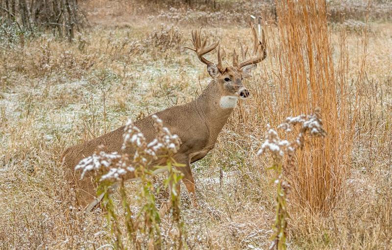 Buck in meadow