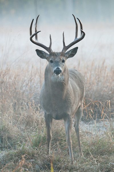 MWT-11292: Foggy morning buck