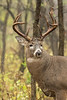 Whitetail buck portrait