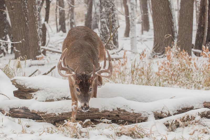 Sneaky buck