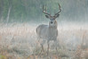 MWT-11312: Misty morning buck