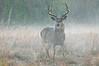 MWT-11312: Misty morning buck