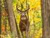 October buck
