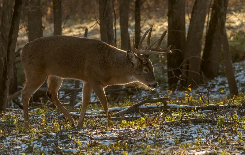 Backlit buck tracking doe