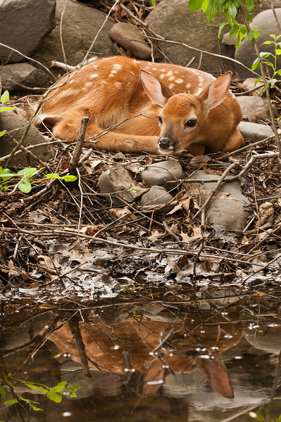 MWT-11024: Whitetail fawn and reflection