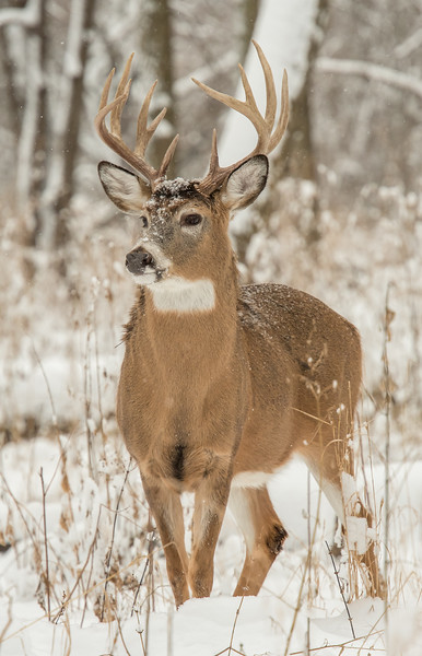 Alert Whitetail in December