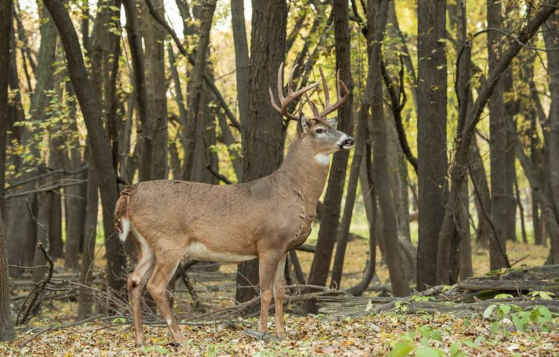 Alert Buck