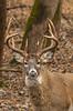 Veteran buck