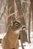 Whitetail buck in November