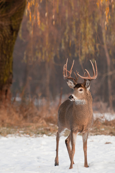 MWT-10655: Whitetail in open