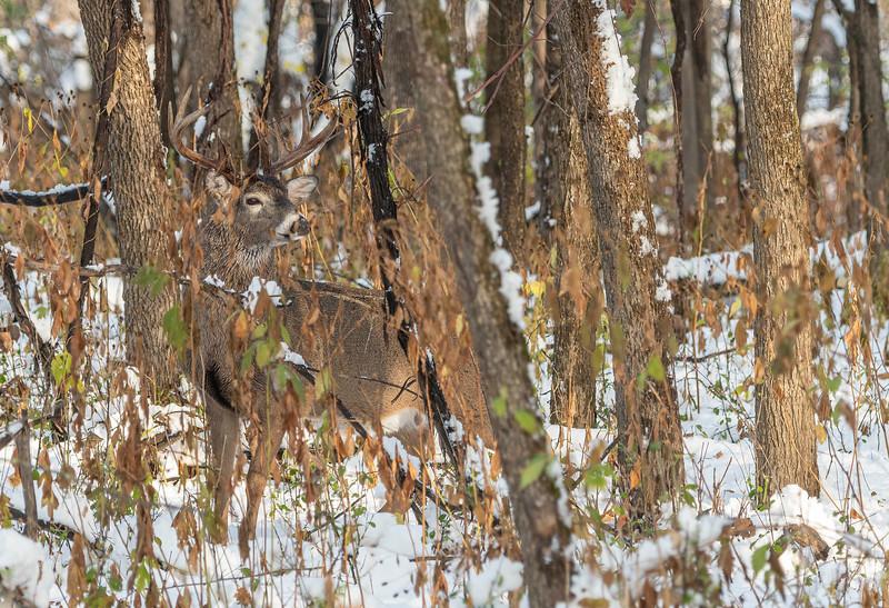 Buck in heavy cover