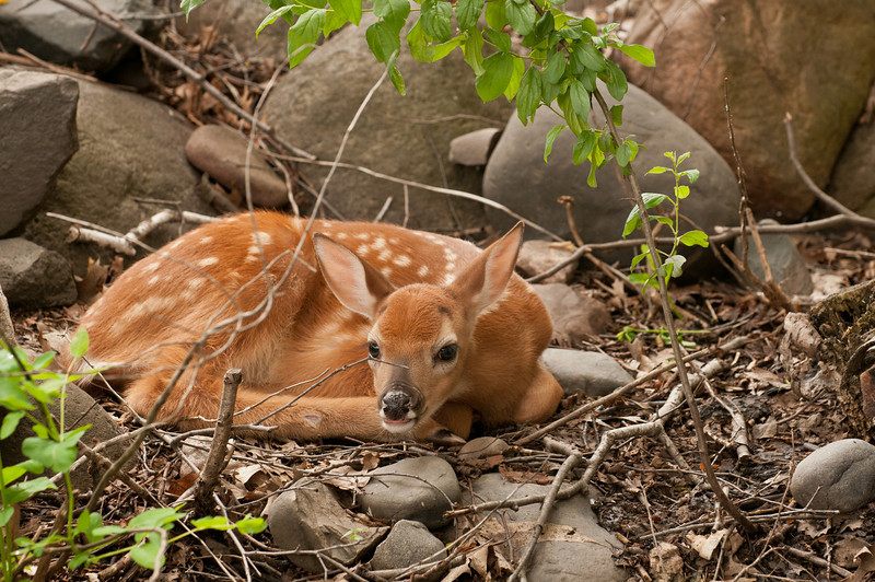 MWT-11020: Hiding Whitetail fawn