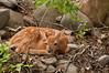 MWT-11020: Hiding Whitetail fawn