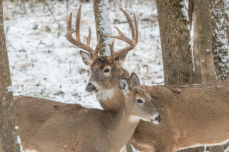 Whitetail pair