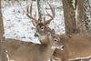 Whitetail pair