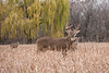 MWT-121576: Trophy buck and yearlings