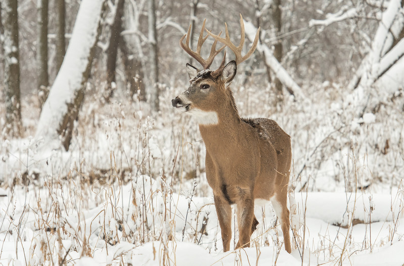 Buck in fresh snowfall