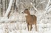 Buck in fresh snowfall