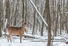 Buck in its winter environment