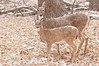 MWT-11723: Doe and fawn in snowstorm