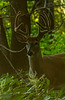 Backlit Whitetail buck
