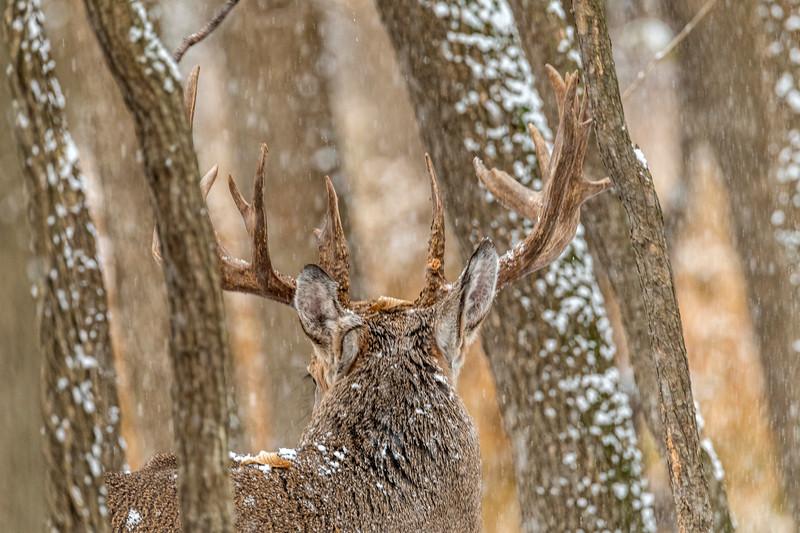 Buck in falling snow