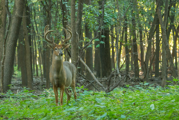 Magnificent Whitetail Buck