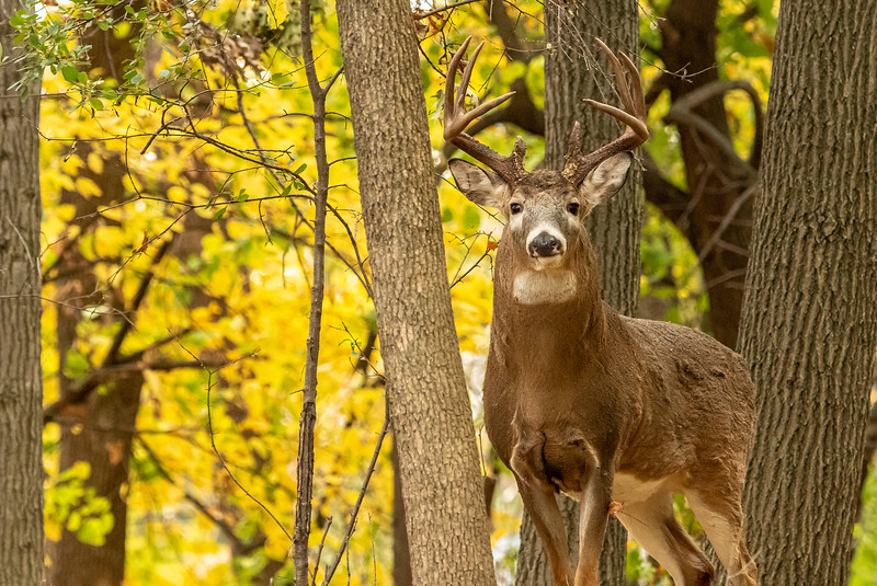 Buck in early October