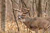 Whitetail buck in post rut