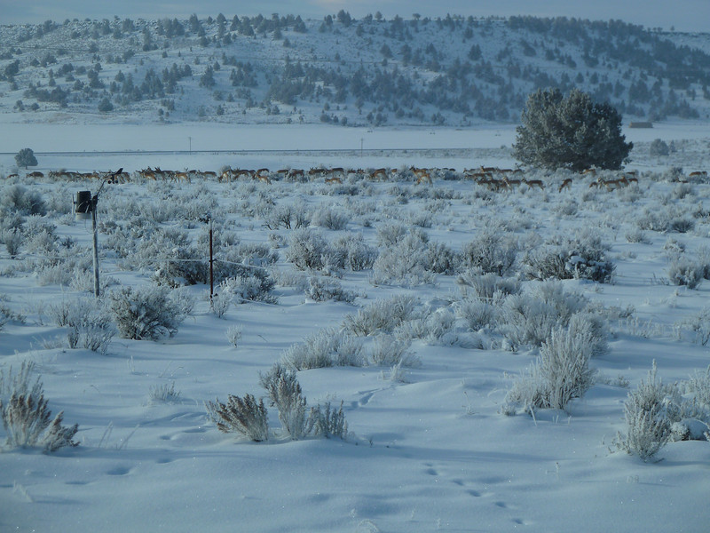 Antelope herd Dec 2010