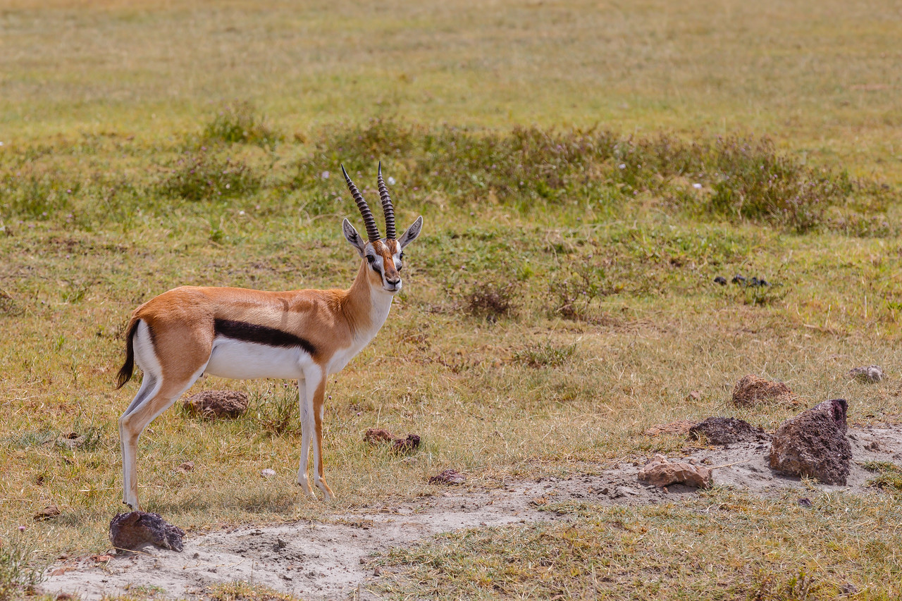 Thompsons Gazelle