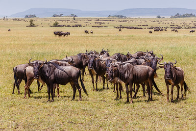 Wildebeest - The Great Migration