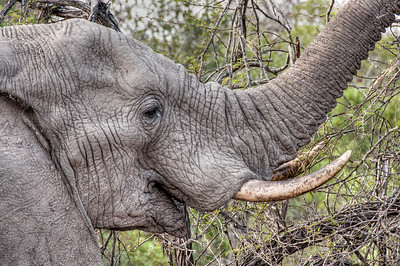 elephant-tear-1