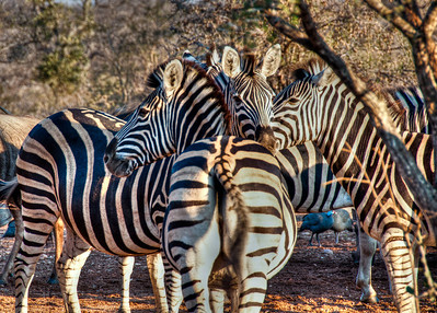 black-white-zebras-1