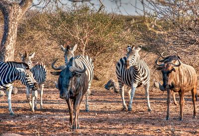 zebras-wildebeest-2