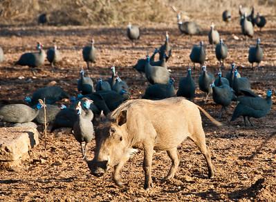 warthog-guinea-fowl-1