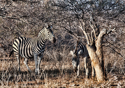 leary-zebras-2