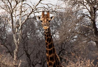 giraffe-african-bush-2